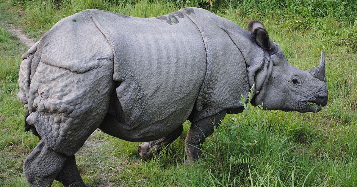 Black interracial rhino
