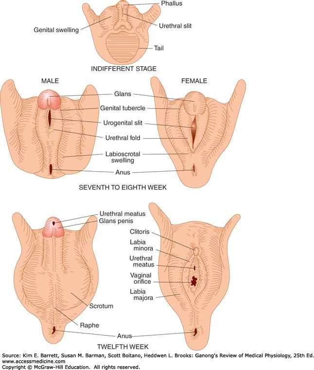 enlarged clitoris Of