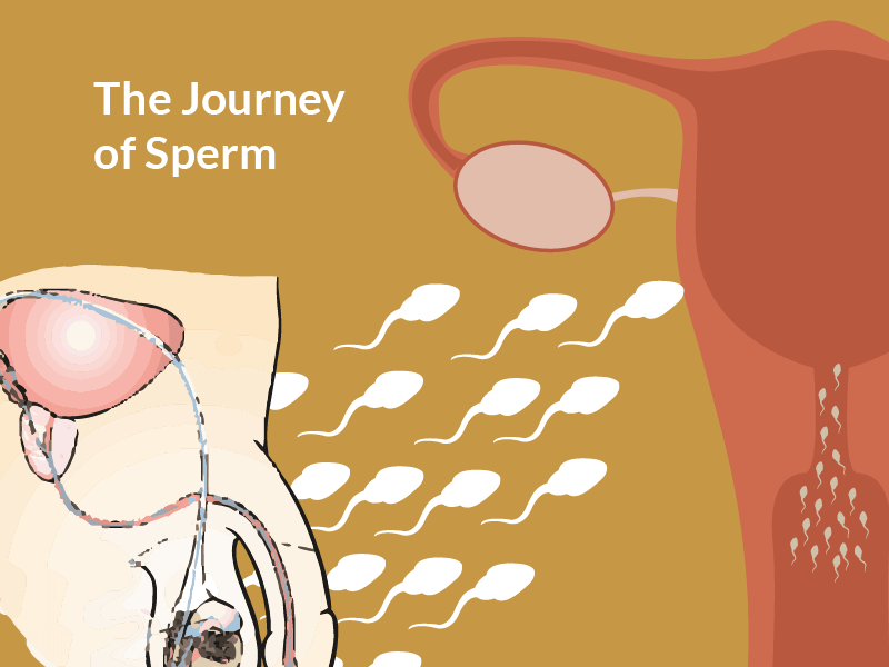 Cunt muscles potent sperm my womb