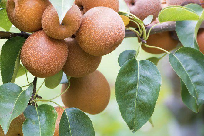 X reccomend Asian pear calorie count