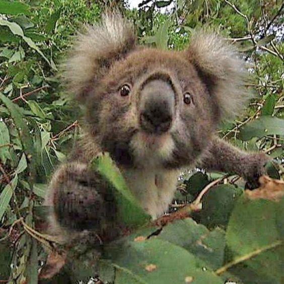 Saber reccomend Do koalas spank