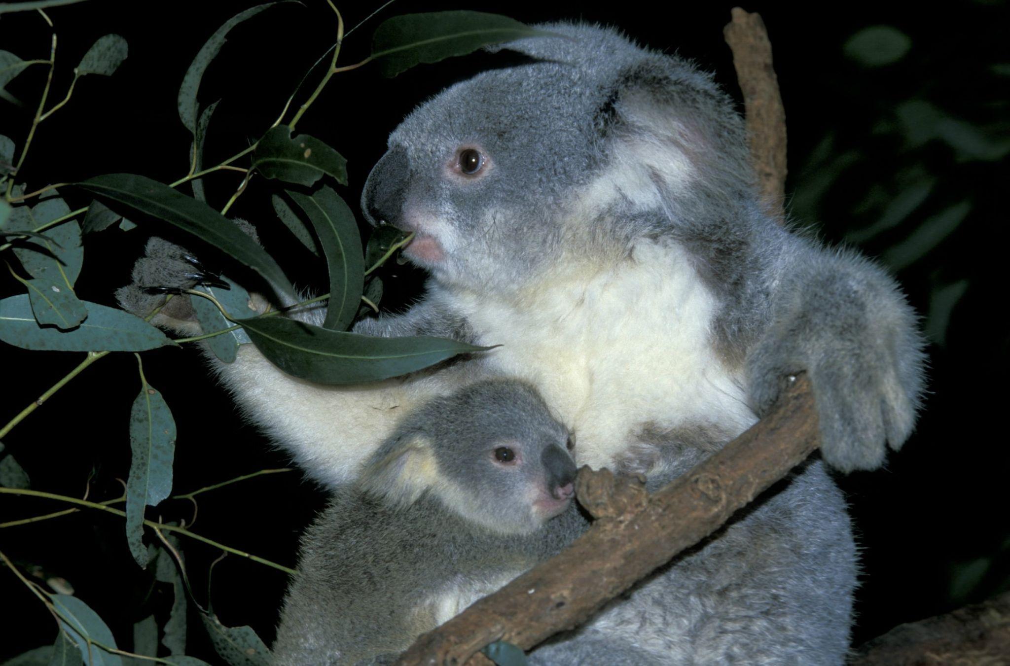 Do koalas spank